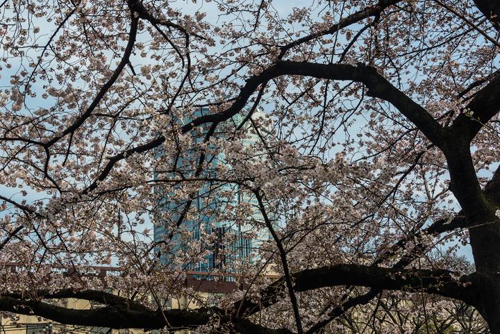 2-2016-桜 3.jpg