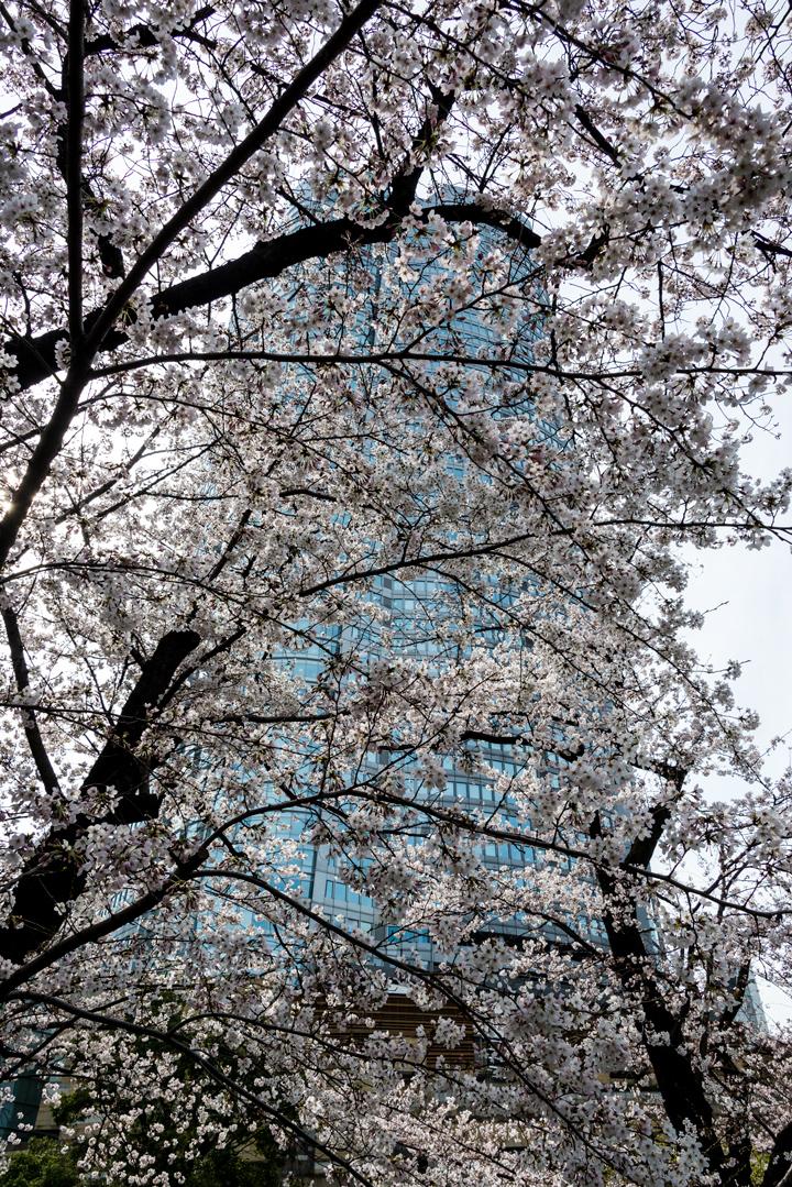 2-2016-桜 9.jpg