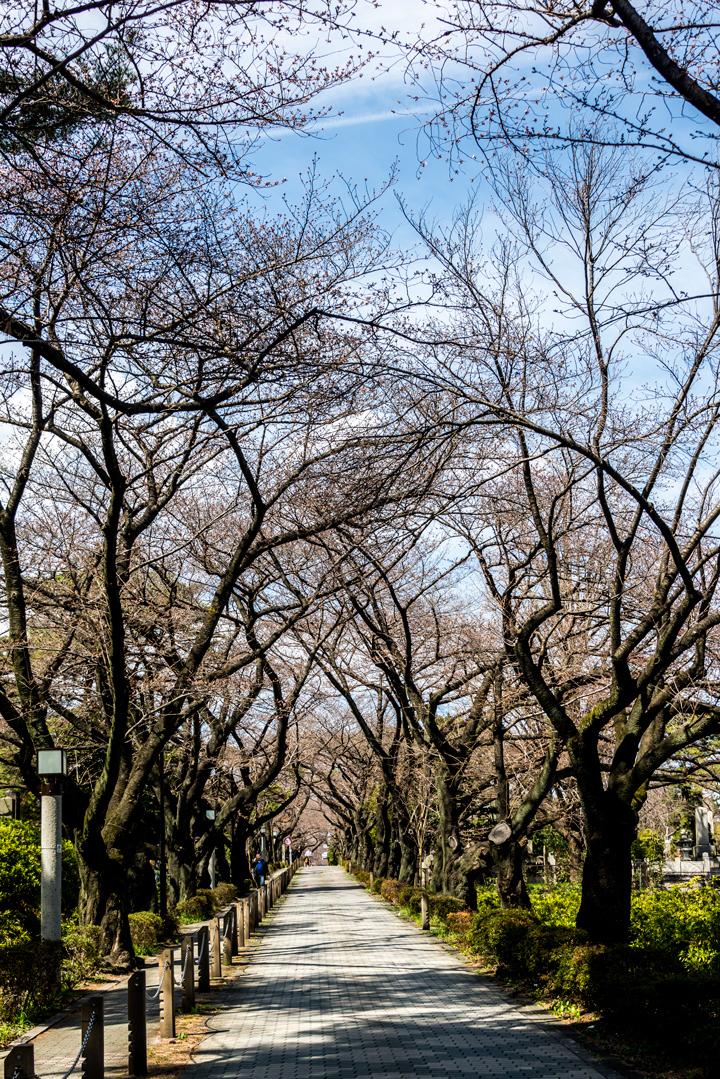 2016-桜 3-1.jpg