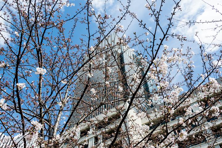 2016-桜 5.jpg