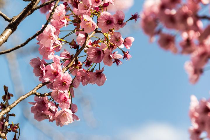 2016-桜 8.jpg