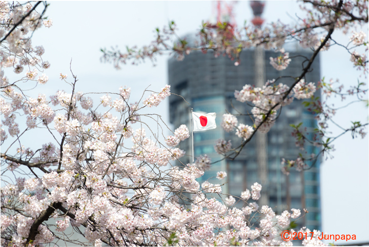 2017桜--1.jpg