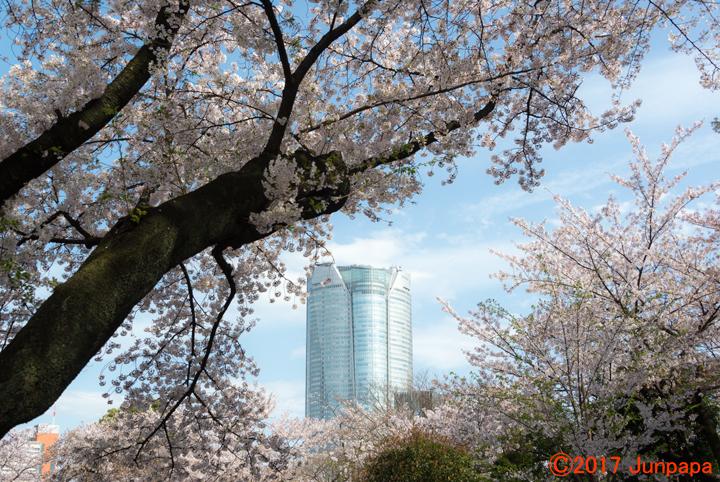 2017桜--2.jpg