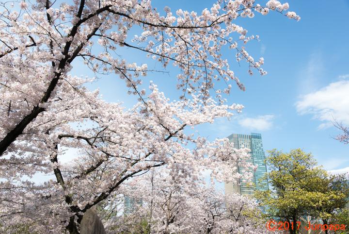 2017桜--3.jpg